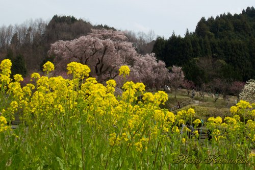 """Matabee Sakura"" in Uda city, Nara, Japan"