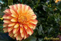 Dalia garden