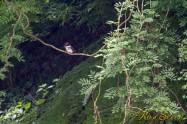 ヤマセミ Crested Kingfisher ※7D EF456 SS1/25