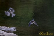ヤマセミ Crested Kingfisher ※7D EF456 F5.6 ISO640 SS1/400