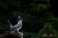 ヤマセミ Crested Kingfisher ※7D EF456 F5.6 ISO100 SS1/200