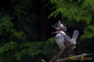 ヤマセミ Crested Kingfisher ※7D EF456 F5.6 ISO200 SS1/60