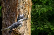 ヤマセミ Crested Kingfisher ※7D EF456