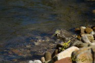 Striated Heron ササゴイ