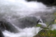 ヤマセミ Crested Kingfisher (MBL) ※7D EF456