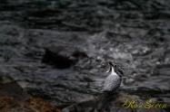ヤマセミ Crested Kingfisher (MBL) ※7D EF456 F5.6 ISO640 SS1/40