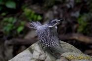 ヤマセミ Crested Kingfisher ※7D EF456 F5.6 ISO1600 SS1/800