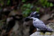 ヤマセミ Crested Kingfisher ※7D EF456 F5.6 ISO400 SS1/125