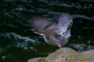 ヤマセミ Crested Kingfisher ※7D EF456 F5.6 ISO400 SS1/200