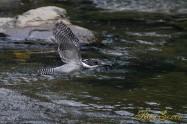 ヤマセミ Crested Kingfisher ※7D EF456 F5.6 ISO640 SS1/800