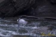 ヤマセミ Crested Kingfisher ※7D EF456 F5.6 ISO640 SS1/320