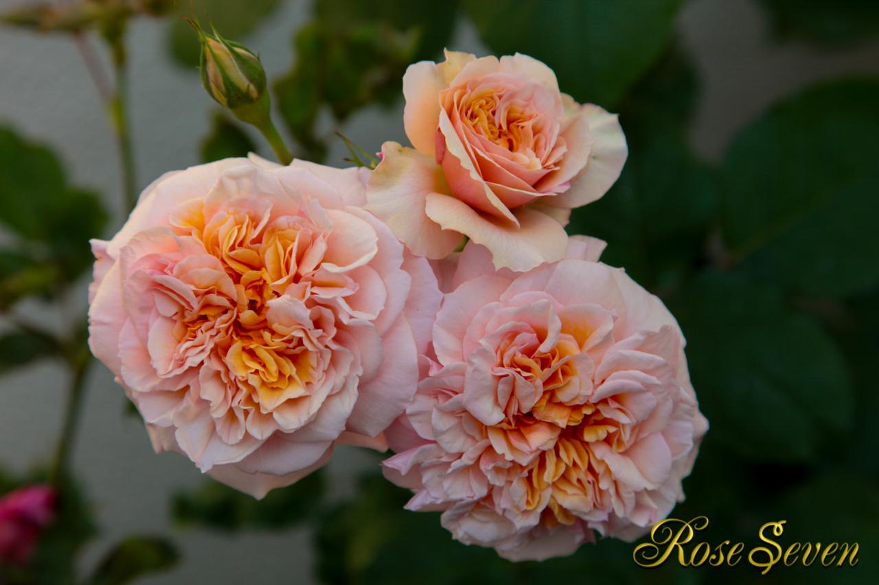 Guillot Roses