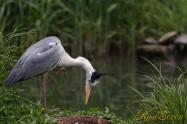 Grey heron アオサギ