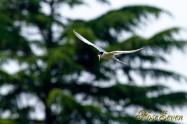 Little Tern コアジサシ
