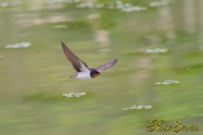 Barn Swallow ツバメ