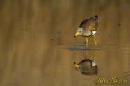 Grey-headed lapwing ケリ