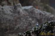 ヤマセミ Crested Kingfisher ※1D4 EF540 F4 ISO400 SS1/160