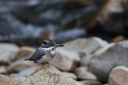 ヤマセミ Crested Kingfisher ※1D4 EF540 F4 ISO250 SS1/160