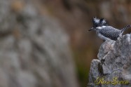 ヤマセミ Crested Kingfisher ※1D4 EF540