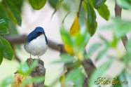 Siberian blue robin コルリ