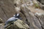 瞬膜 ヤマセミ Crested Kingfisher