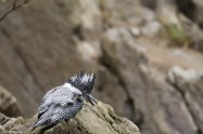 ヤマセミ Crested Kingfisher