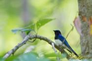 Blue-and-White Flycatcher オオルリ