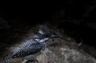 ヤマセミ Crested Kingfisher  (PS)