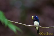 Blue-and-White Flycatcher オオルリ