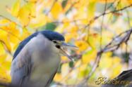 Night heron ゴイサギ
