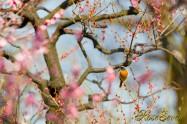 Daurian Redstart ジョウビタキ ♂