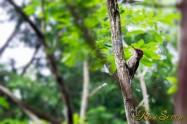 Japanese Green Woodpecker アオゲラ
