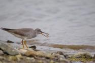 Grey-tailed Tattler キアシシギ