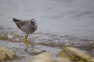 Grey-tailed Tattler キアシシギ
