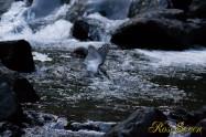 ヤマセミ Crested Kingfisher ※1D4 EF456 F5.6 ISO2000 SS1/1250