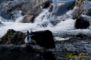 ヤマセミ Crested Kingfisher ※1D4 EF456 F5.6 ISO1600 SS1/500