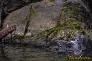 ヤマセミ Crested Kingfisher (MBL) ※1D4 EF456