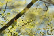 Narcissus Flycatcher キビタキ