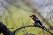 Narcissus Flycatcher キビタキ