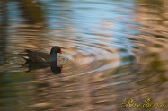 Common Moorhen バン