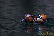 Mandarin duck オシドリ