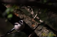 Long-tailed Tit エナガ