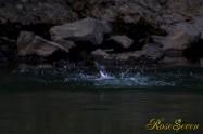 ヤマセミ Crested Kingfisher ※1D4 EF456 F5.6 ISO1000 SS1/640