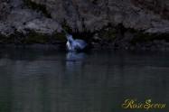 ヤマセミ Crested Kingfisher ※1D4 EF456 F5.6 ISO1000 SS1/400
