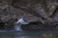 ヤマセミ Crested Kingfisher ※1D4 EF456 F5.6 ISO1000 SS1/320