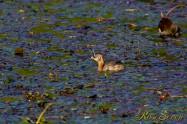 Little grebe カイツブリ