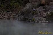 ヤマセミ Crested Kingfisher ※1D4 EF456 F5.6 ISO400 SS1/4