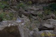 ヤマセミ Crested Kingfisher ※1D4 EF456 F5.6 ISO800 SS1/400