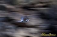 ヤマセミ Crested Kingfisher ※1D4 EF456 F5.6 ISO1000 SS1/30