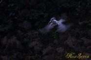 ヤマセミ Crested Kingfisher ※1D4 EF456 F5.6 ISO1000 SS1/80